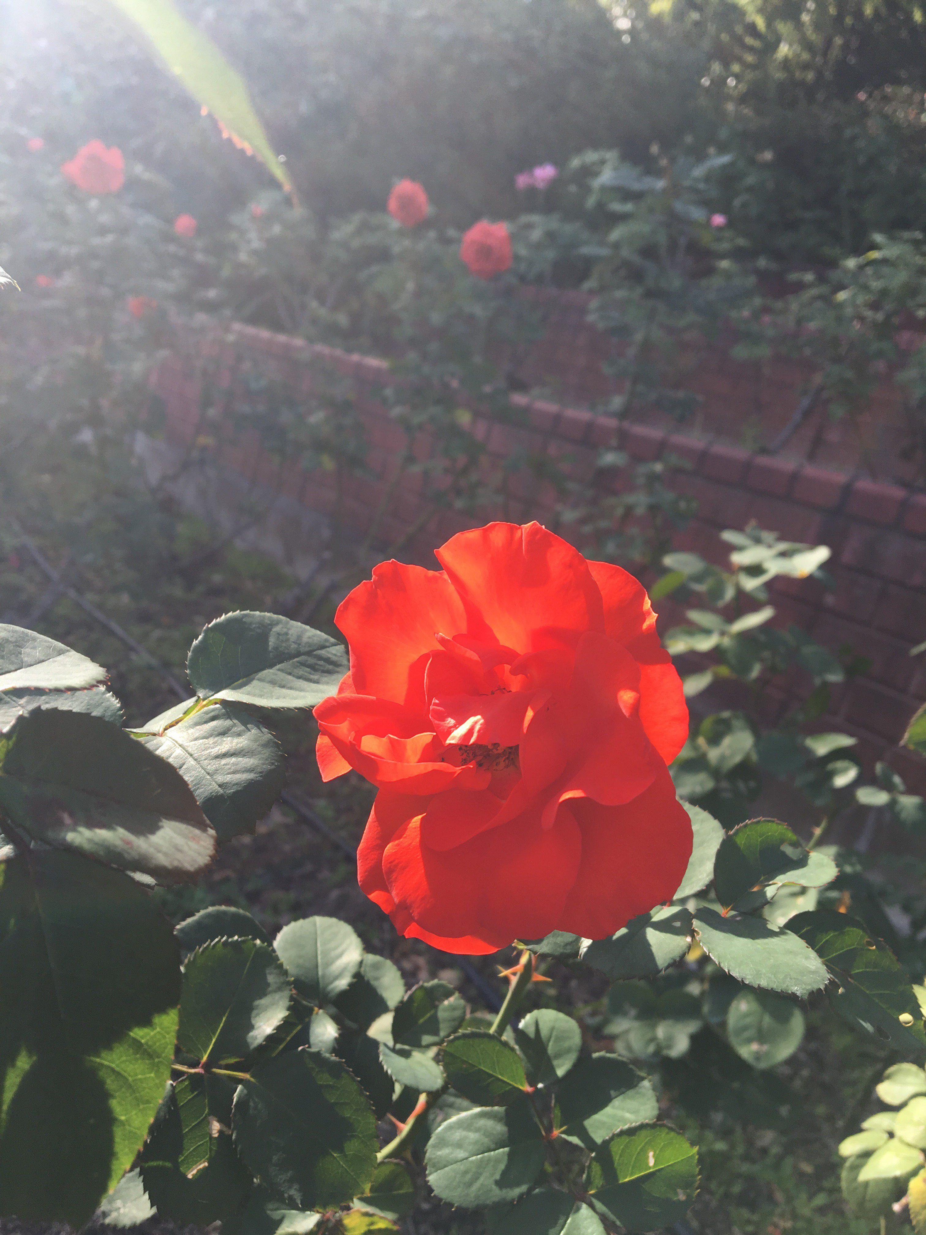 【文字練習】 薔薇はなぜ